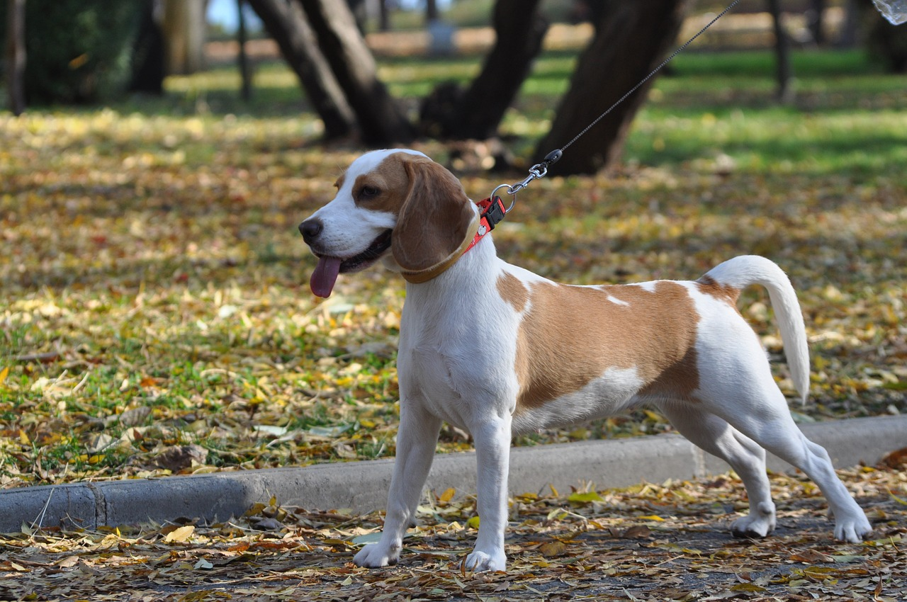 beagle, dog, cute