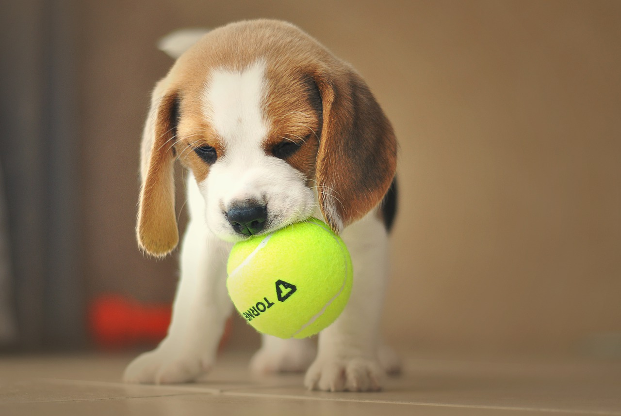 puppy, dog, beagle