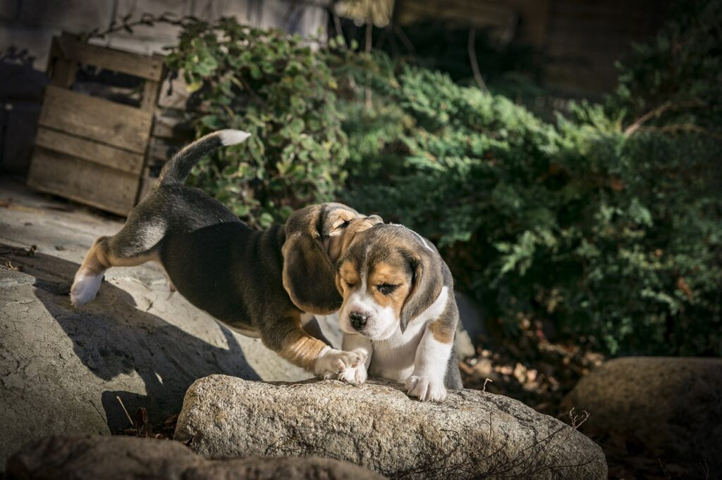 dog, puppy, beagle